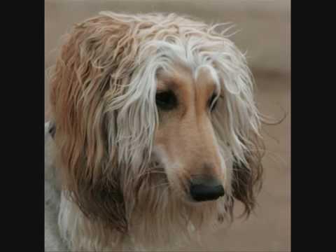 Dog Breeds-Afghan Hound