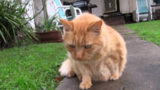 The sooky ginger tom cat