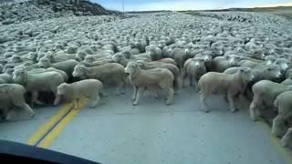 Increíble Piño de Ovejas en Carretera de Punta Arenas