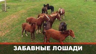 Смешные лошади! Отношение животных к квадрокоптеру