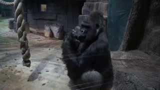 Московский зоопарк: гориллы(Животные и люди Моя партнерская программа VSP Group. Подключайся! https://youpartnerwsp.com/ru/join?63493., 2014-12-18T16:06:59.000Z)