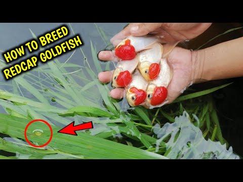 How To Breed Goldfish Redcap | Natural Breeding | Redcap Oranda Goldfish