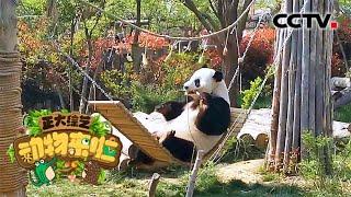 [正大综艺·动物来啦]大熊猫的第六指在哪个部位| CCTV