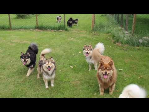 Finnish Lapphund Finnish Lapponian Dog Finnischer Lapphund Kennel Erimathi have fun
