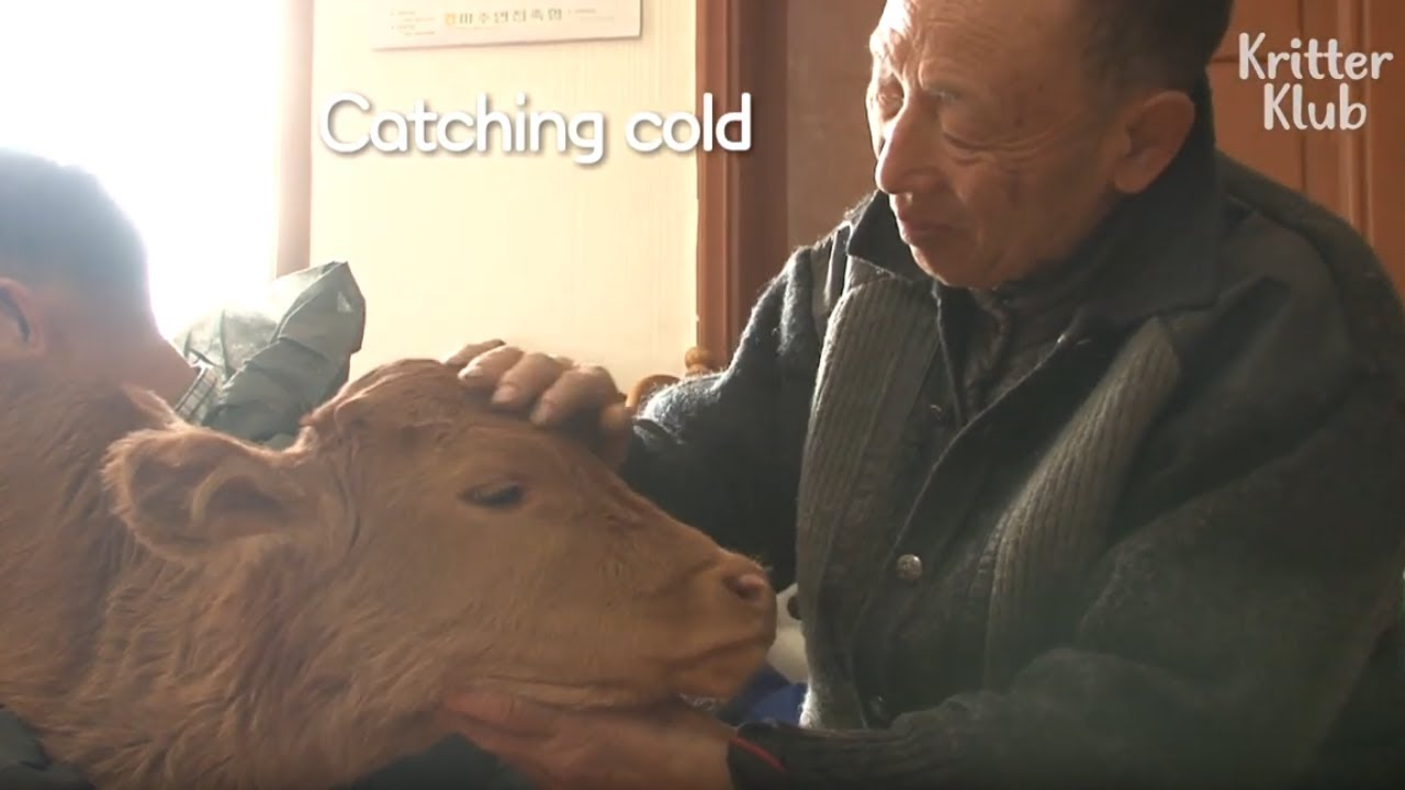 Sweet Calf Loves A Human Grandfather More Than Her Mom | Kritter Klub