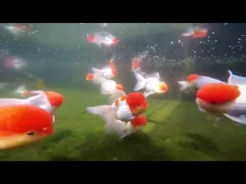 Jelly head red cap gold fish grade A