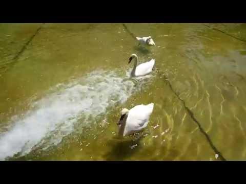 Ереван, Лебединое озеро, Swan Lake, Лебедь, Swan, Angry Swans, Злые лебеди.