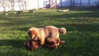 Тибетский мастиф щенки 4.5 месяца игра