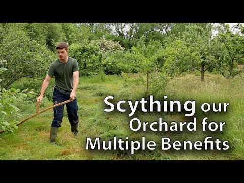 Scything our Orchard of 30 Fruit Trees