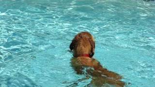 Golden Retriever Jumps Into Pool To Retrieve