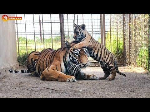 Релакс. Наблюдаем за тигриным семейством. Архив. Тайган. Relax Watching A Tiger Family.
