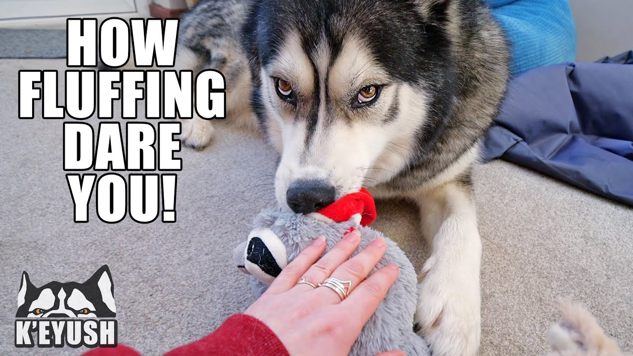 My Husky Gets Jealous if I Pet His Toys Instead of Him!