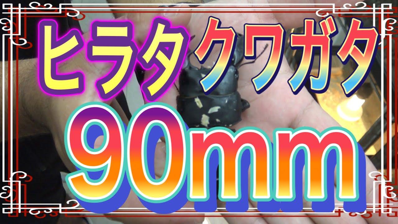 【世界のカブト、クワガタ】沖縄 国際通り近くbーproさんにお邪魔したら、特大の90mm 最高のクワガタをご覧あれ。