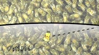 The Waggle Dance of the Honeybee