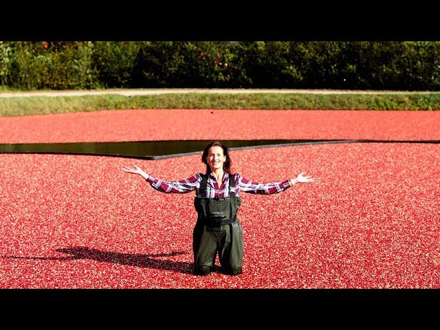 Why this cranberry farm invites Instagrammers to visit every year