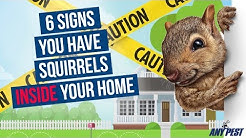 Do I Have Squirrels in My Attic? 6 Signs There's Squirrels in Your Home | Any Pest
