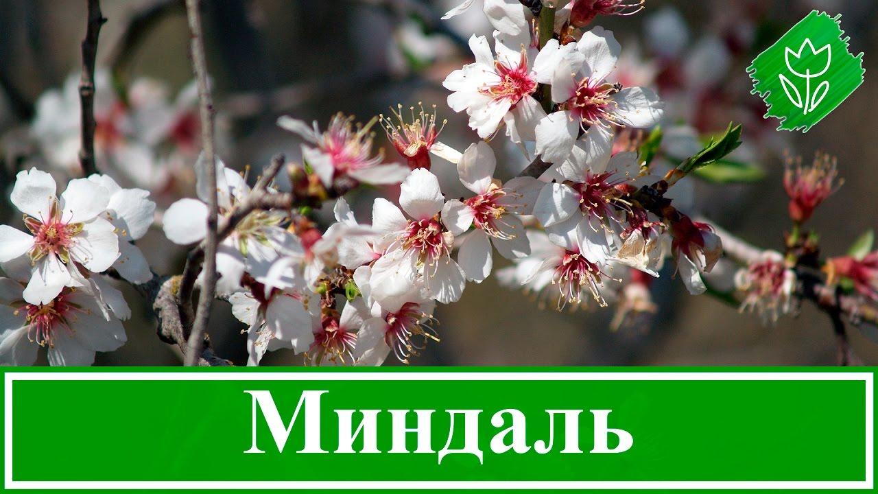 Кустарник миндаль – посадка и уход; декоративный миндаль ...