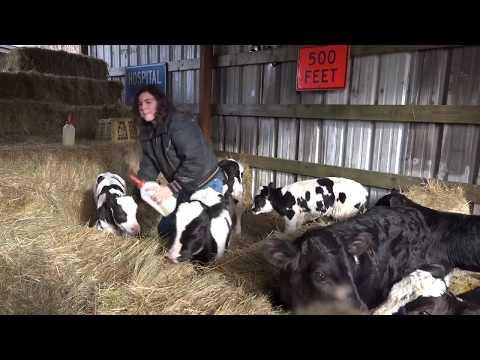 Feeding the bottle calves