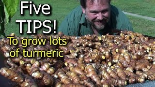 5 Tips How to Grow a Ton of Turmeric in Just 3 Square Feet Garden Bed