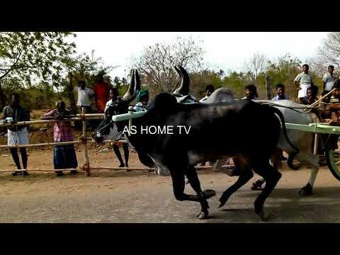 Rackla Race in Muthur Cow 2017 Beautyful