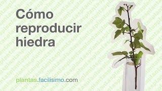 Cómo reproducir hiedra | facilisimo.com