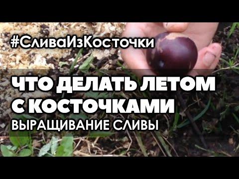 🍑🍒 Что делать летом с косточками. Как хранить косточки абрикоса, сливы, черешни, вишни  до посева
