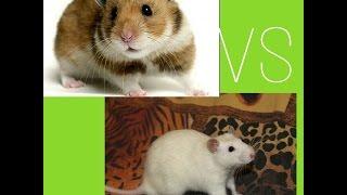 Крыса VS хомяк ! Кого купить?