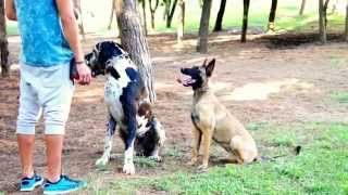 Big Dog Training With Food Rewards