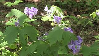 ヤマトリカブト/Aconitum japonicum Thunb 08_171004森林公園