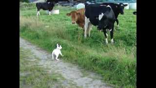 Bouledogue VS Prim'holstein!