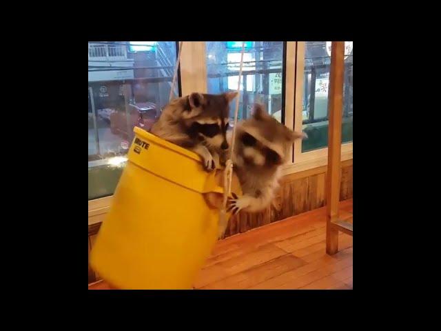 Raccoon Bucket Swing    ViralHog