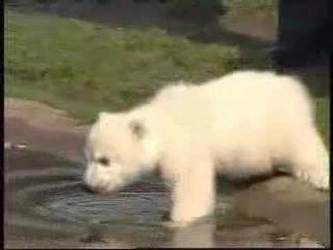Knut Song Video - cute knut baby polar bear-www.90grad.at
