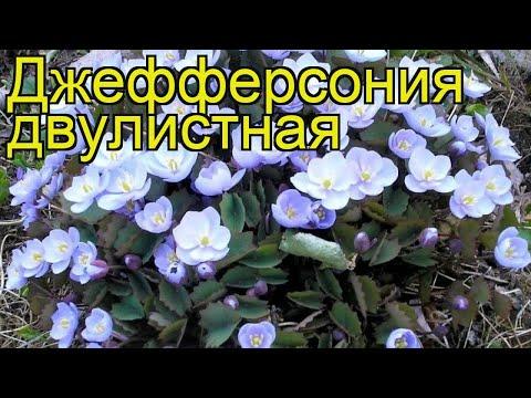 Джефферсония двулистная. Краткий обзор, описание характеристик jeffersonia diphylla
