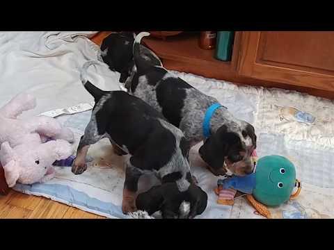 Baby Bluetick Coonhound puppies and their Redbone buddy Luke