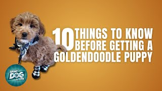 Goldendoodle Puppies | Things You Should Know Before Getting a Goldendoodle Puppy