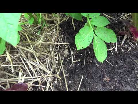 Growing potatoes update on  TPS (True potato Seeds), and pulling the sprouts off the tubers