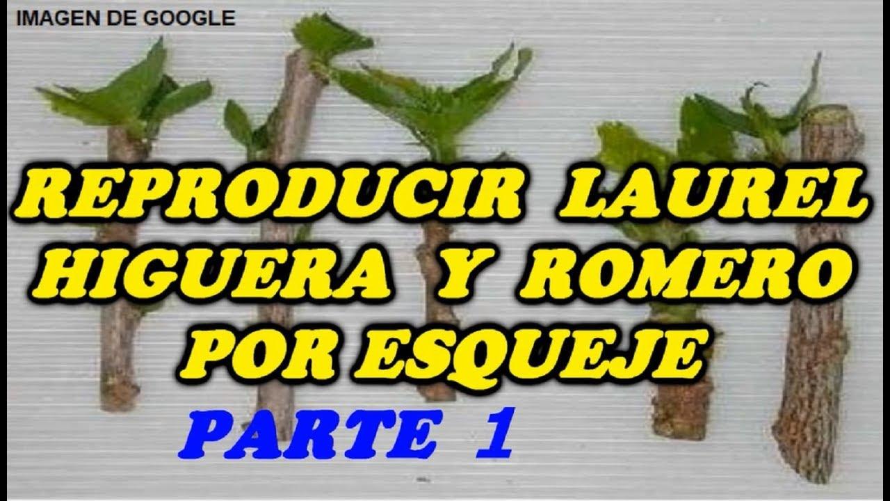 Reproducir laurel higuera y romero por esqueje 1 parte for Planta ornamental que se reproduzca por esquejes