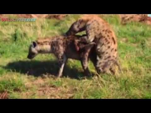 Download WILDLIFE // Reasons why hyenas mate // fahamu sababu zinazowafanya fisi kufanya mapenzi muda mrefu