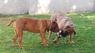 Boerboels playing football funny dog