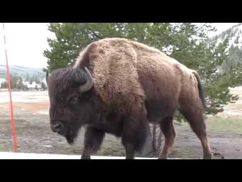 Yellowstone Wild Life Buffalo Bear Birds