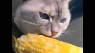 Кот ест кукурузу! Офигеть! Приколы 2017. Смешные видео 2017.