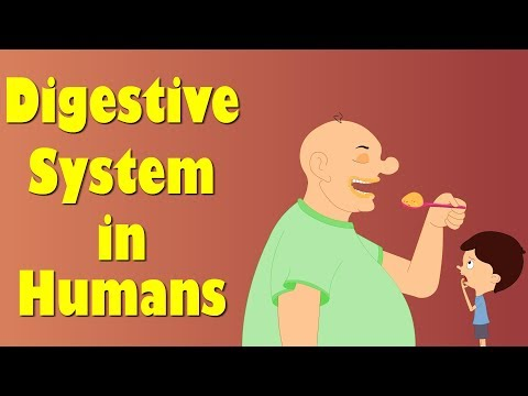 Digestive System of Human Body