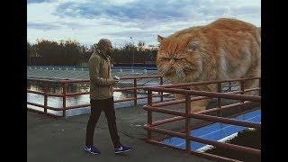 Топ-10, самые большие домашние кошки.
