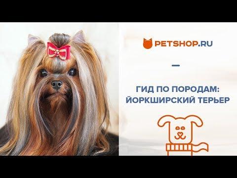 ГИД ПО ПОРОДАМ - ЙОРКШИРСКИЙ ТЕРЬЕР