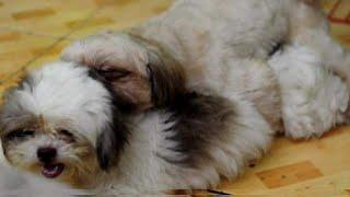 Shih tzu mating | how to breed shih tzu