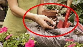 Подкормка цветов. Комнатные растения будут расти как на дрожжах, если добавить обычный...