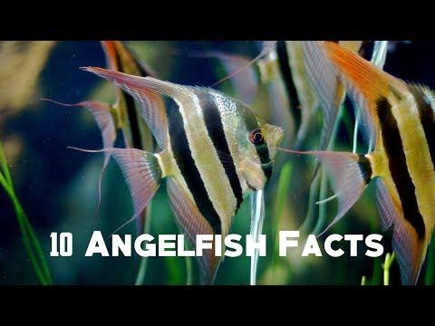 10 Angelfish Facts | Animals Unlimited | Sameer Gudhate