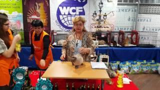 Выставка кошек, WCF ринг Девон рекс.  Devon rex 4к video