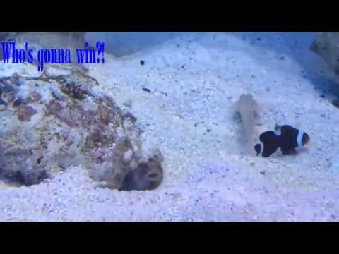 Scooter Blenny Versus Blue Spotted Jaw Fish