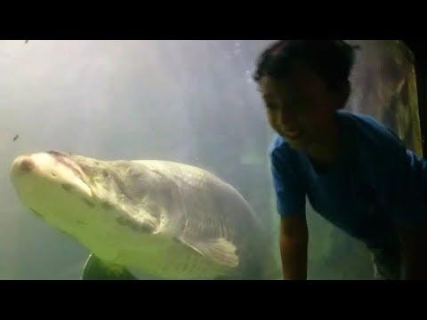 ARA THE MONSTER FISH!! Ara lihat ikan Arapaima gigas   Dunia Air Tawar TMII